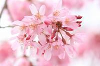お寺さんの枝垂れ桜 - 暮らしの中で