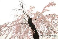 《花》 さいたま市桜区役所の枝垂桜 - 100-400ISの部屋