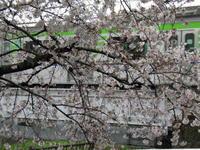 野川写真日記(2017/04/08) - SEのための心理相談室