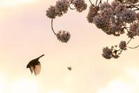 今年も信州上田城千本桜まつりが始まりました - 風祭智秋の五行歌ブログ