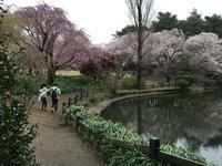 千駄ヶ谷から六本木まで歩く(1) 桜満開の新宿御苑と神宮外苑 - 散歩ガイド