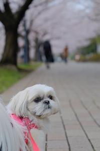 お花見第5弾 - ポロと歩く