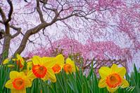 都賀の枝垂桜・・・ - ぶらりカメラウォッチ・・