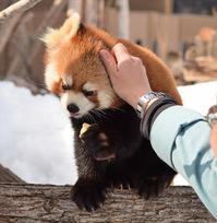 母と娘の冬模様・その7 - レッサーパンダ☆もふてく放浪記