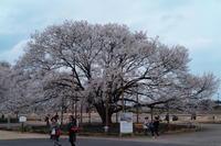 薄墨桜 in 天平の丘 - Dr.Margaridaの備忘録