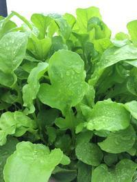ルッコラ初収穫、リーフレタスも好調 - 3F garden(屋根付屋外水耕)