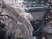 京都御苑の桜 - 京・街・さんぽ