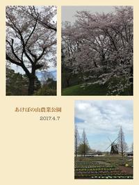 2017桜-01 - とんがとん