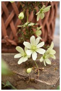 クレマチス・ペトリエイの花 - 小さな庭 2