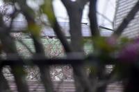 東京はまだまだ桜は満開ではないようです - 生きる歓び Plaisir de Vivre。人生はつらし、されど愉しく美しく