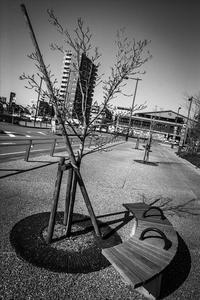2017年4月12日 成長が早い街路樹 - Silver Oblivion