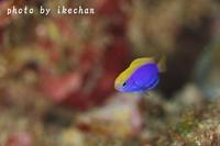 「春の予感」 ~セナキルリスズメダイ幼魚~ - 池ちゃんのマリンフォト
