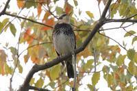 桜が咲き始めてジョウビタキが去る頃 - 野鳥写真日記 自分用アーカイブズ