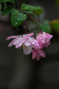 雨上がりのカイドウ - 彩りの軌跡