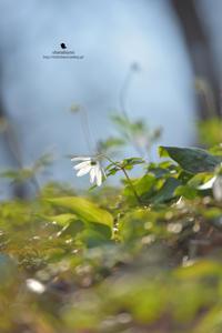 キクザキイチゲ - お花びより