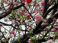 『長良橋通りの源平咲き花桃~』 - 自然風の自然風だより