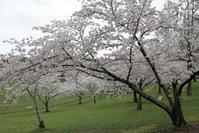 雨の合間の桜と歯の痛みその後 - ちゃちゃとみくのDIARY
