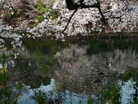 今年の井の頭公園は、桜がかつてないほど綺麗です^ ^  - FASHIONSCAPE-TOWNSCAPE