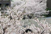 桜満開 - マツビーの日曜お散歩写真