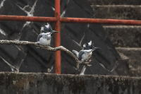 ヤマセミ ペア - 野鳥公園