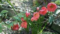 満開 - グリママの花日記