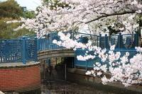 今年の桜 - mechT