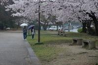 桜咲く雨天の公園 - 岳の父ちゃん's PhotoBlog