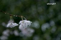 2017 桜 ー大覚寺ー - 写真生活2