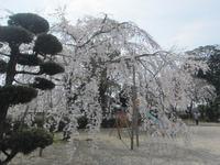 桜の季節 到来♪ - ケアホーム穂の香(ほのか)、ケアホームあや音(あやね)、デイサービス燈いろ(といろ)の日常