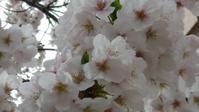 お花見part2 - プリプエママのHAPPYな一日