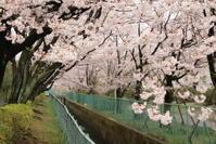 桜、満開 - 犬の一歩