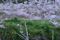 今井の桜 4月6日続報 - pottering