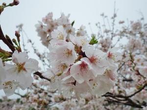 桜雨 - 今日も渚で日が暮れて