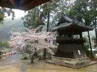 2017年桜レポート    1 雨の 湖西市・本興寺 - Hawaiian LomiLomi  ハワイのおうち 華(レフア)邸