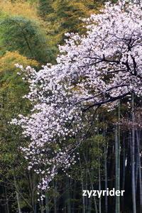 背が高いヤマザクラ - ジージーライダーの自然彩彩