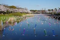こいのぼりが泳ぐ桜並木 - 季節の風を追いかけて
