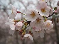 風の丘の芝生広場の山桜が咲き始めました! - 神戸布引ハーブ園 ハーブガイド ハーブ花ごよみ