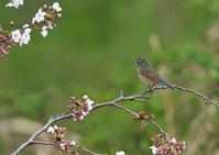 桜にアトリとルリビタキ - 今日も鳥撮り