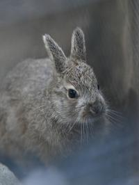 小さな小さなトウホクノウサギ - bonsoir