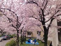キャンパスで花見~息子の所へ・・・ - 島暮らしのケセラセラ