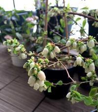 ブルーベリー - kukka kukka