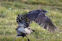 狩りをするオオタカ Ⅳ - 比企丘陵の自然