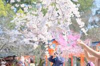 都のお花見が始まる@弾丸日帰り京都ツアー2017春 - カメラをもってふらふらと