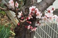梅の開花宣言 - 雑食日記