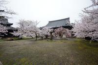 桜便り2017 枝垂れと染井吉野の共演@立本寺 - デジタルな鍛冶屋の写真歩記