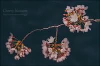 桜と雨と風 - すずちゃんのカメラ!かめら!camera!