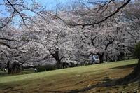 光が丘公園の桜 ② - お散歩写真     O-edo line