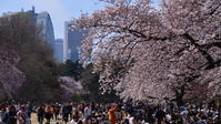 桜の季節 (新宿御苑にて) - けちけちオヤジのお気楽ダイアリーズ