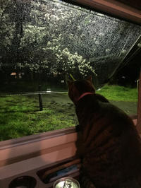 雨の夜桜 - こもトク ~healing cats~