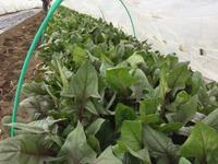 サラダほうれん草、やわらかです - 畑が伝えてくれること